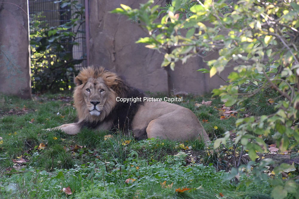 ZLS London Zoo's Asiatic lions celebrate the advent of autumn with scented treat, London, UK. 18 October 2018. 18 October 2018.