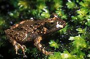 New Zealand native Hochstetter's frog on moss beside stream in Auckland's Waitakere Ranges