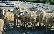 Sheep flock at Omalos, Crete, Greece.
