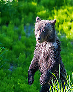 Standing Grizzly Bear cub in the evening light. This little Grizzly named Pepper has quite a survival story.