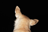 Chihuahua Looking Back