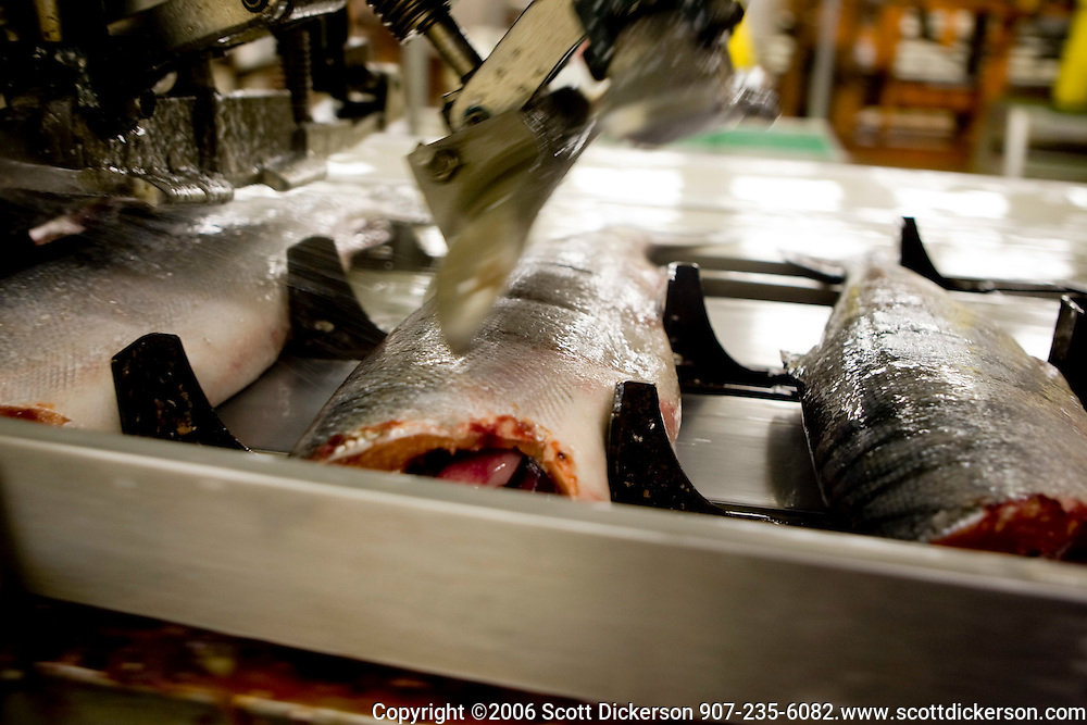 Sockeye salmon being processed in the Peter Pan cannery in Dillingham, Alaska.