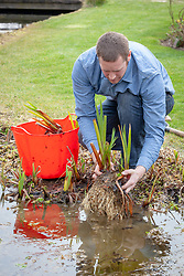 Dividing pond plants - iris. Replanting divisions back in pond