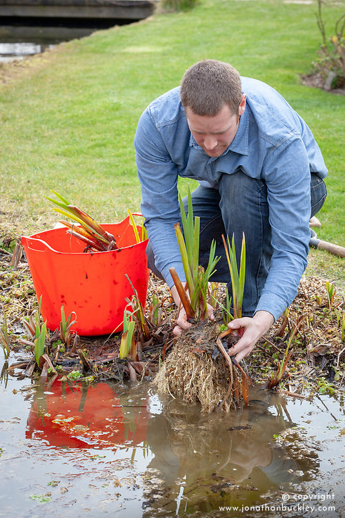 Dividing pond plants (iris - replanting divisions in the water