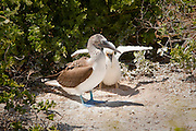 A blue-footed booby (Sula nebouxii) raising a juvenile in a ground nest on Espanola Island, Galapagos Archipelago - Ecuador.