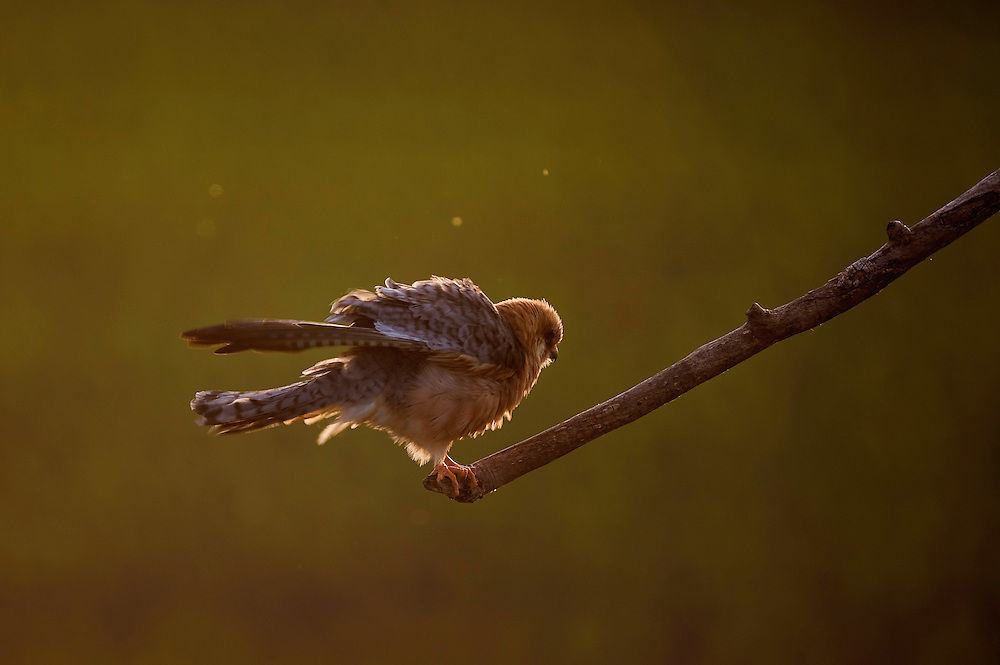 The Red-footed Falcon (Falco vespertinus) in the sunset on Hortobagy National Park, Hungary