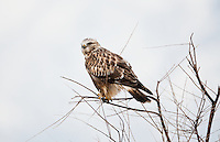December 2016 A Rough Legged Hawk sits in a lone tree scanning the marsh at Bear River Bird Refuge in northern Utah.
