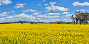 Canola field under blue sky and cumulus clouds near Illabo, New South Wales, Australia
