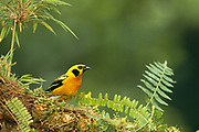 Golden Tanager<br />