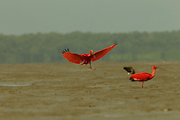 Scarlet Ibises (Eudocimus ruber) landing in the mudflats of Orinoco River Delta, Venezuela.