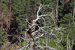 Turkey Vulture (Cathartes Aura) sometimes called a buzzard sits in the barren branches of a dead pine tree