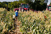 27 JULY 2020 - CARLISLE, IOWA: CARLENE RUSSELL, a retired  nutritionist from Des Moines, gleans sweet corn on the Butcher Creek Farm in Carlisle. Volunteers from Eat Greater DSM gleaned sweet corn in the fields on the farm. The corn was packaged and will be distributed to Des Moines emergency pantries, community centers, and churches this week. Gleaning is the act of collecting leftover crops from farmers' fields after they have been commercially harvested or gathering crops from fields where it is not economically profitable to harvest. It is an ancient tradition first described in the Hebrew Bible. A spokesperson for Eat Greater DSM said food assistance need has skyrocketed this year. In a normal year, they distribute about 300,000 pounds of food. Since the start of the COVID-19 pandemic in March, they've distributed more than 500,000 pounds of food.         PHOTO BY JACK KURTZ