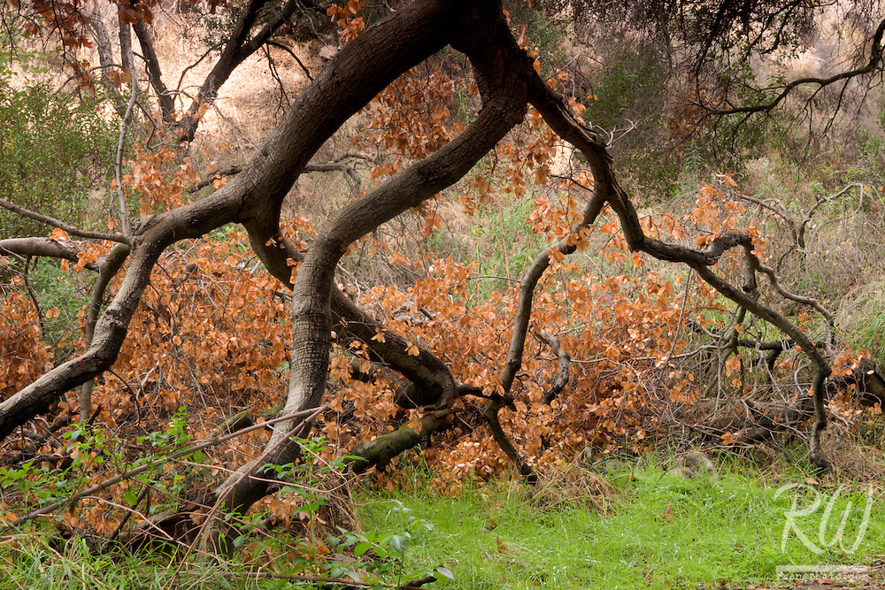 Fallen Oak Tree in San Dimas Experimental Forest, Angeles National Forest, California