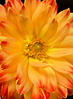 WA13245-00...WASHINGTON - A dahlia in bloom.