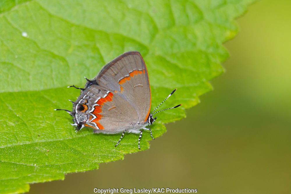 Red-banded Hairstreak<br /> Calycopis cecrops<br /> Kisatchie National Forest<br /> Rapides Parish, Louisiana<br /> 23 May 2011