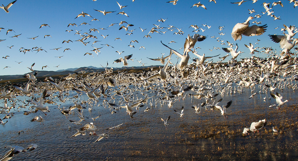 USA, New Mexico, Bosque del Apache National Wildlife Refuge, Flock of Snow Geese (Chenhyperborea hyperborea) taking off from lake at sunset