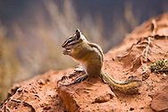A Uinta Chipmunk lives atop the cliffs in Zion National Park, Utah