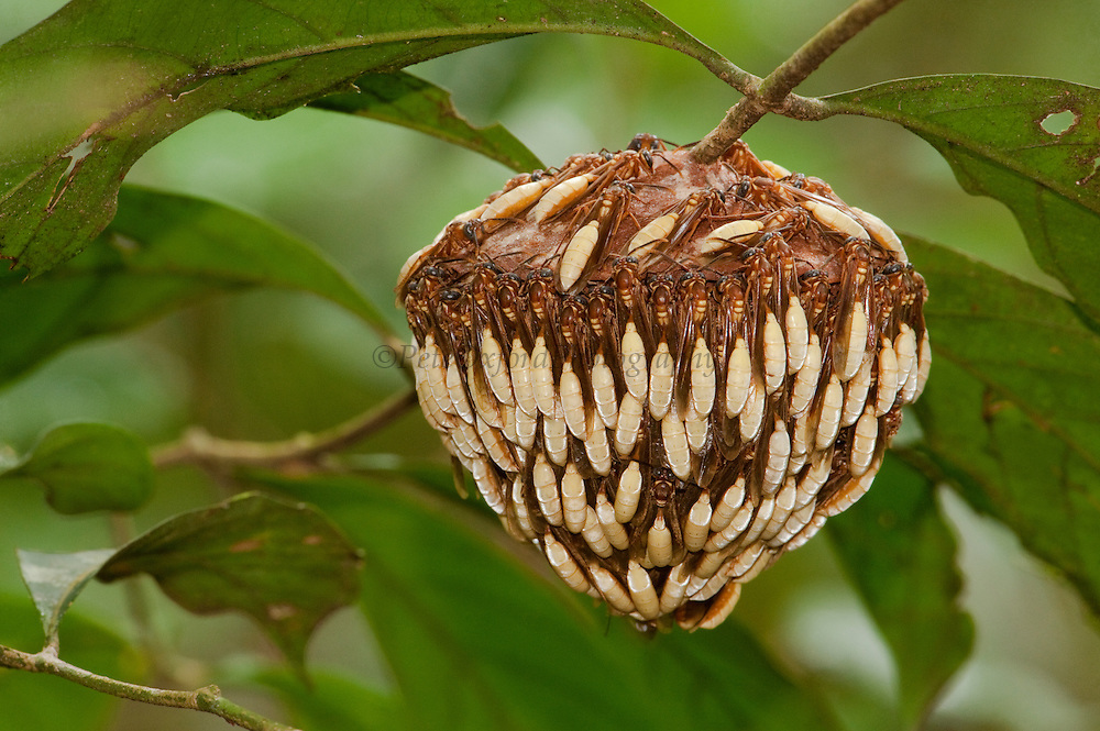 Parasol wasp nest &amp; wasps (Apoica pallens)<br /> Clinging to nest ready to defend it.<br /> Rupununi<br /> Guyana<br /> South America