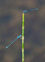 Beautiful blue dragonflies, Bardiya National Park, Nepal
