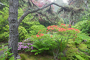 Soft overcast light following a rain storm shows the rich colors of the Azalea garden at Asticou