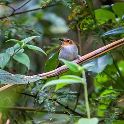 """""""Tororó (Poecilotriccus plumbeiceps) fotografado em Vargem Alta, no Espírito Santo -  Sudeste do Brasil. Bioma Mata Atlântica. Registro feito em 2018.<br /> ⠀<br /> ⠀<br /> <br /> <br /> <br /> <br /> ENGLISH: Ochre-faced Tody-Flycatcher photographed in Vargem Alta, Espírito Santo - Southeast of Brazil. Atlantic Forest Biome. Picture made in 2018."""""""