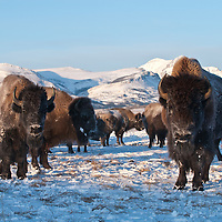 Bison bison, winter buffalo on the prairie rocky mountains, glacier national park, crown of the continent, montana