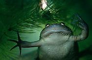 DEU, Deutschland: Afrikanischer Krallenfrosch (Xenopus laevis) unter Wasser, rein aquatisch lebende Frösche, eine sehr ursprüngliche Froschform mit Krallen an den Hinterfüssen, Herkunft: Afrika | DEU, Germany: African clawed frog (Xenopus laevis) under water, aquatic living frog, primary frog species, short claws on each of its hind feet, origin: Africa |