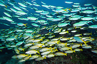 Schooling Indian Snappers and Fusiliers<br /> <br /> Shot in Indonesia