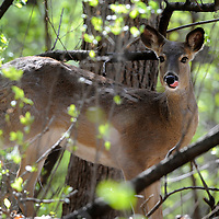 A deer pauses in Tuthill Park in Sioux Falls, S.D.
