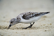 Sanderling (Calidris alba) feeding on horseshoe crab eggs<br /> Little St Simon's Island, Barrier Islands, Georgia<br /> USA<br /> HABITAT & RANGE: Circumpolar Arctic breeder and long-distance migrant