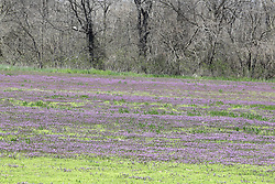 Purple clover grows in a grain field that has been set aside from planting for a few seasons.