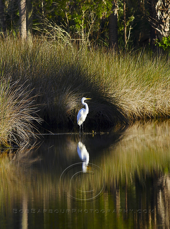 Great white heron, great egret, Adrea alba, resting in marsh