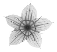 X-ray image of a midnight marvel hibiscus flower calyx (Hibiscus 'Midnight Marvel', black on white) by Jim Wehtje, specialist in x-ray art and design images.