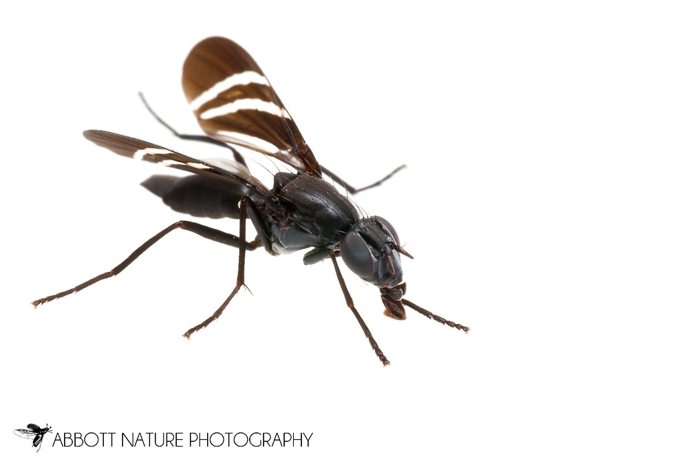 Black Onion Fly (Tritoxa flexa)<br /> KENTUCKY: Jessamine Co.<br /> Nicholasville<br /> 22-Jun-2015<br /> J.C. Abbott #2750 &amp; K.K. Abbott