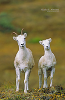 Dall's sheep ewe and lamb, Yukon Territory, Canada