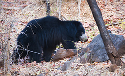 Sloth Bear (Ursus ursinus) in Bandhavgarh, India