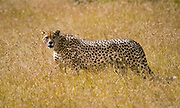 Cheetah, Axcinonyx jubatus, in the long grass of Sweetwater Game Reserve, Kenya.