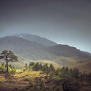 Scots pine, Glen Falloch