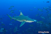 bull sharks, Carcharhinus leucas, patrol spawning aggregation of mutton snappers, Lutjanus analis; shark in foreground is a female with mating scars on her head inflicted by a male, Gladden Spit & Silk Cayes Marine Reserve, off Placencia,  Belize, Central America ( Caribbean Sea )