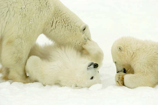 Polar Bear (Ursus maritimus) a mother grooms her cub at Cape Churchill, near Churchill, Manitoba. November.