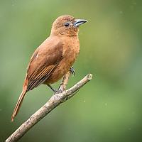 Tachyphonus rufus, female, Trinidad
