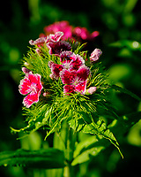Sweet William flowers. Image taken with a Fuji X-T3 camera and 80 mm f/2.8 OIS macro lens
