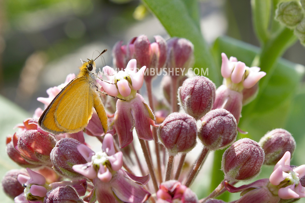 Chester, New York - A least skipper (Ancyloxypha numitor) butterfly on a common milkweed (Asclepias syriaca) plant at Goosepond Mountain State Park on June 14, 2012.