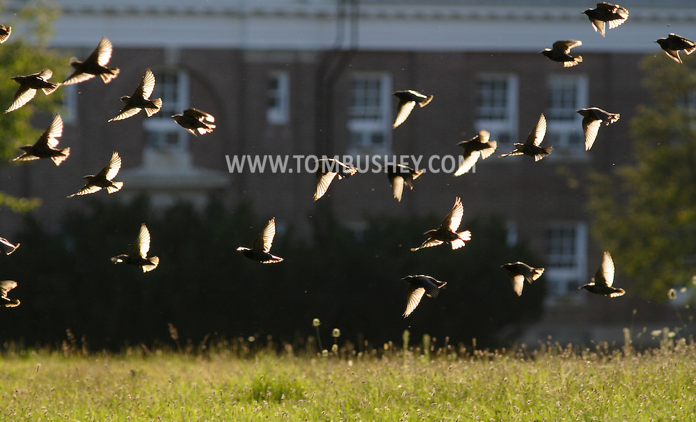 Middletown, N.Y. - A flock of birds takes flight in the late afternoon light on Sept. 10, 2006.