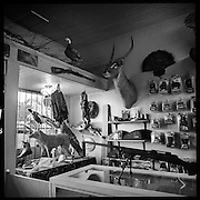 Taxidermy and guns are displayed in this gun shop.  Cleveland, Mississippi
