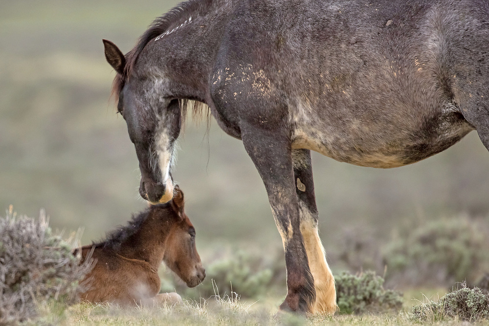 The wild mare, Miley, tenderly guards her newborn filly, born a few hours earlier. The filly will stay with her mother and their family for two to three years until she leaves to find a band stallion of her own.