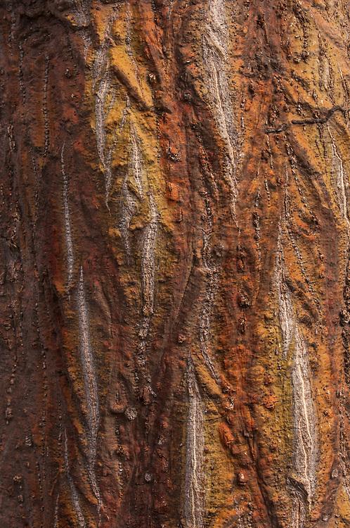 Flame Tree (Erythrina velutina)<br /> Wolf Volcano. Isabela Island<br /> GALAPAGOS ISLANDS<br /> ECUADOR.  South America<br /> NATIVE SPECIES