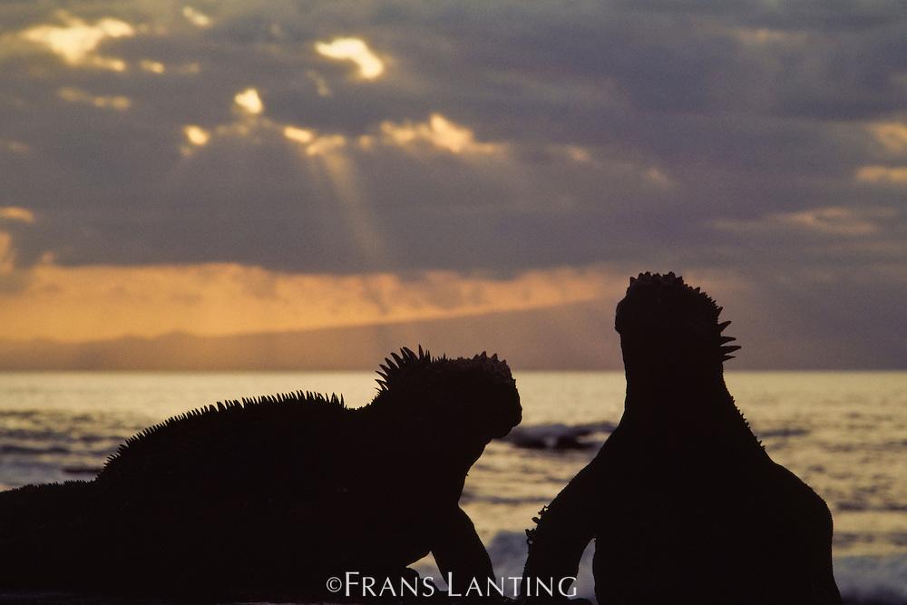Marine iguanas at dusk, Amblyrhynchus cristatus, Galapagos Islands