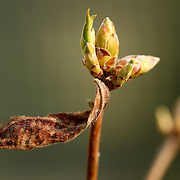 An azalea begins to leaf out around a flower bud in Lexington, Ky., on 4/12/10. Photo by David Stephenson