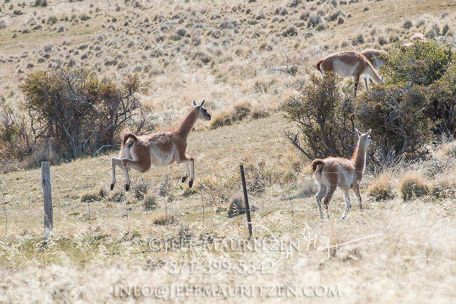 Guanaco jump over a fence in Torres del Paine National Park, Chile.